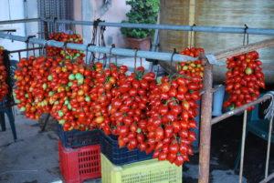 grappolo di pomodori di Ercolano