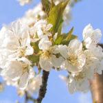 I fiori di ciliegio di Vignola