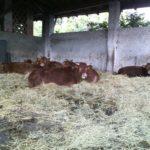 Mucche della Cascina Battivacco