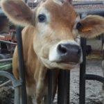 Mucche alla Cascina Campazzo