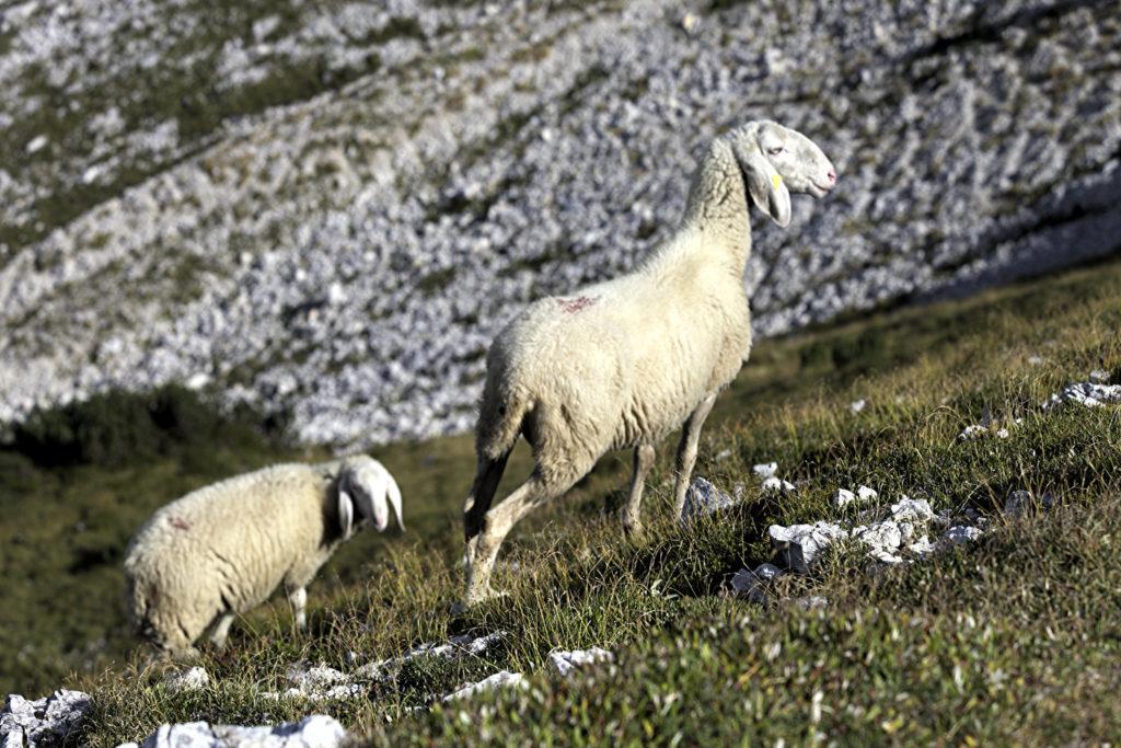 Pecora dell'Alpago (Immagine di Flickr iv78x)