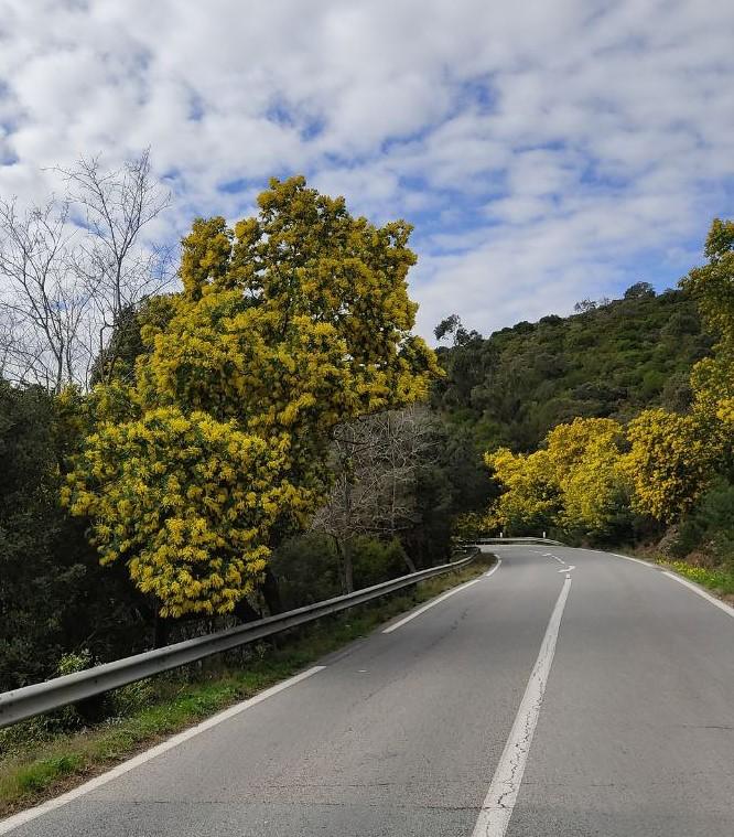Strada delle mimose